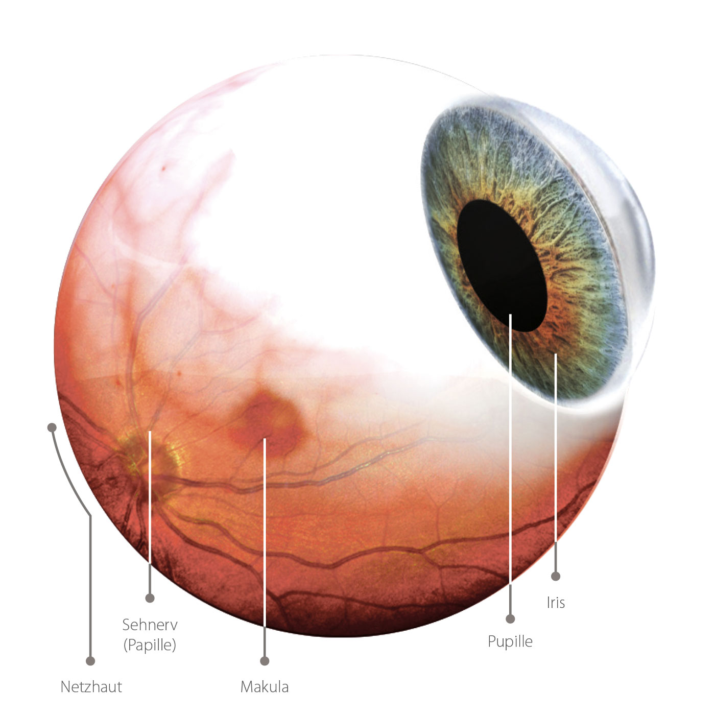 Darstellung des Auges.